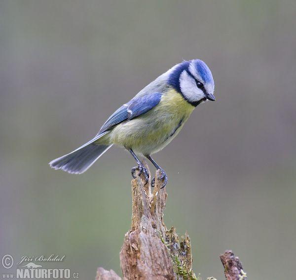 Bksda Amankan Ratusan Burung Gelatik Batu Jambi One Portal Berita Paling Jambi