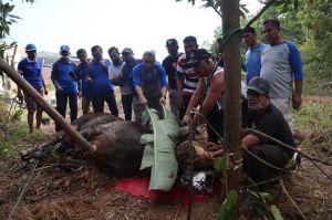 DPW PAN Jambi Kurbankan Dua Ekor Sapi, 270 Kupon Dibagikan