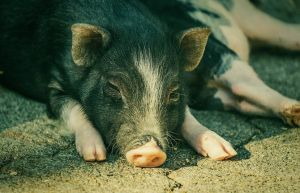 Viral Babi Ngepet ternyata Rekayasa Hoax 8 Orang